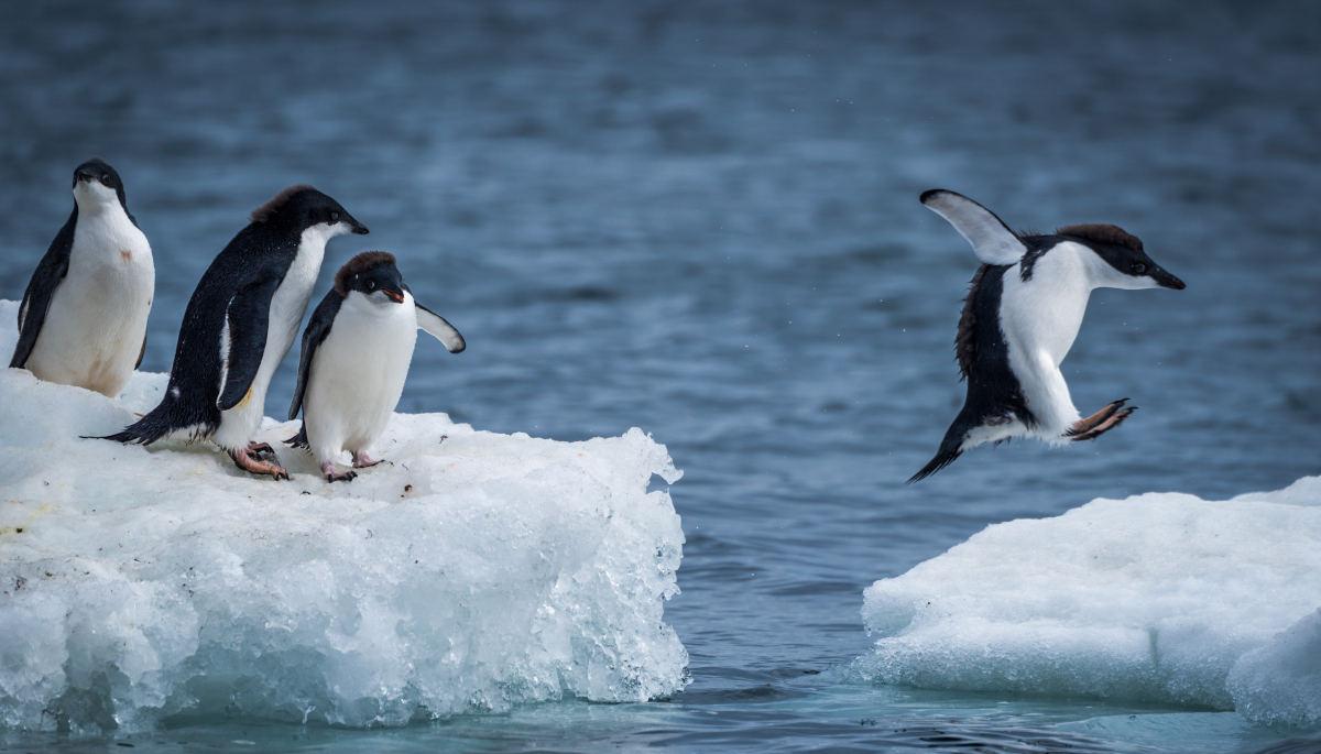 ファーストペンギンとは――その意味、最初のリスクを踏む者に敬意を - 『日本の人事部』